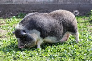 pot-bellied-pig-1291817_960_720